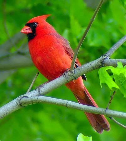 cardinals family cardinalidae passerine birds found north