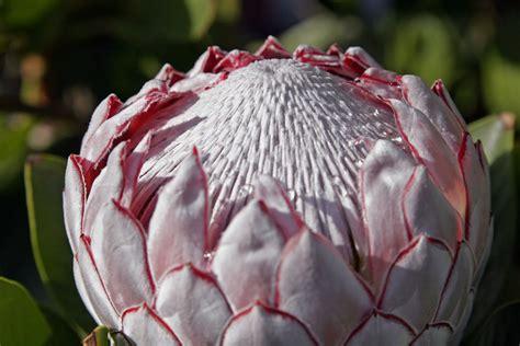 protea fiore file protea flower02 jpg wikimedia commons