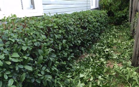 how to trim hedges miss smarty plants