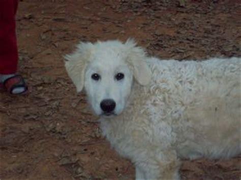 maremma puppies for sale maremma sheepdog puppies for sale