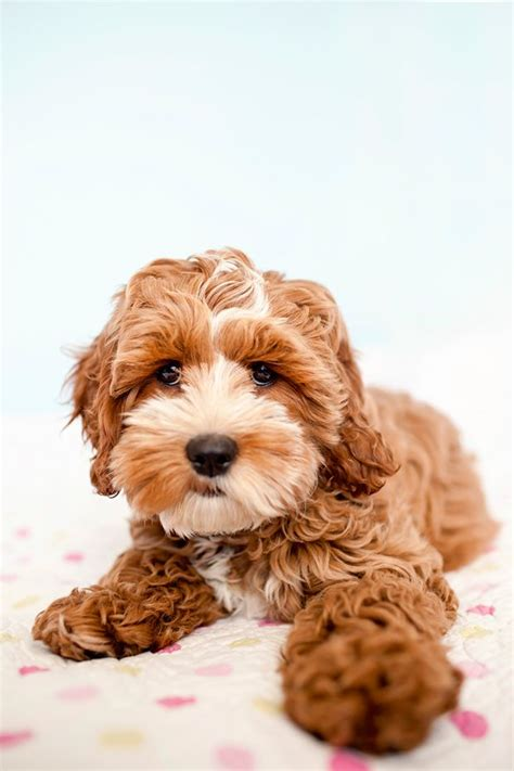 happy tails puppies tessa the cockapoo puppy by happy tails pet photography i m smitten puppy to