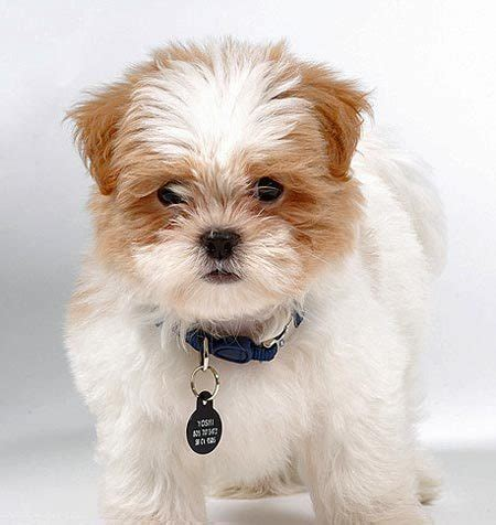maltese shih tzu mix puppies yoshi the shih tzu maltese mix puppies daily puppy