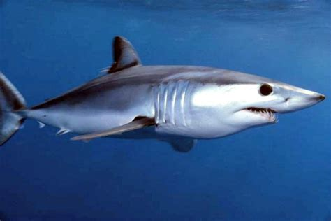10 Essential Mako Shark Facts   Fun Facts You Need to Know!