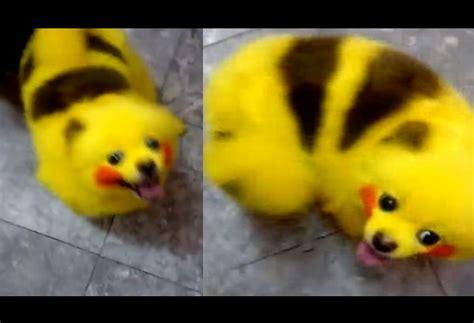 pikachu puppy pok 233 ranian freaks out pikachu pet lifestyle features