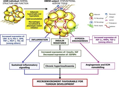 proposed mechanisms linking obesity and cancer the exc open i