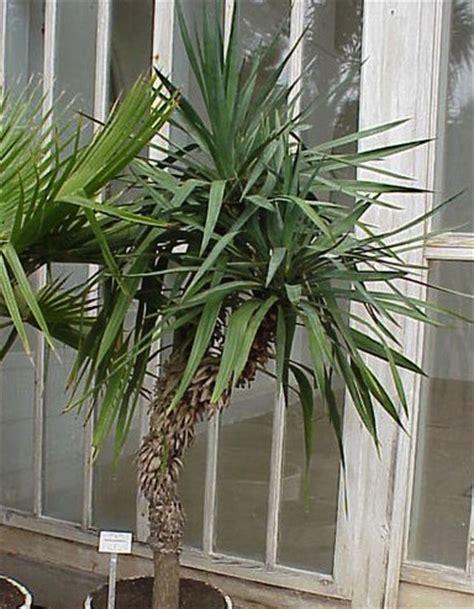 yucca palme schlafzimmer feng shui und die wirkung der pflanzen