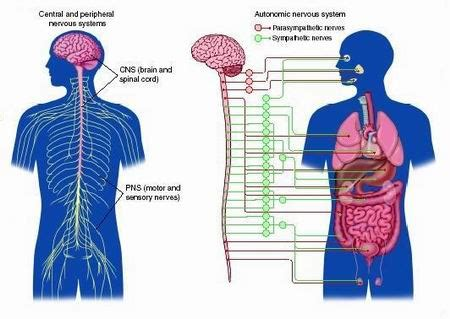 diagram of central and peripheral nervous system peripheral nervous system human anatomy