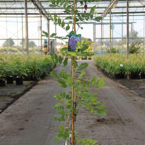 blauwe regen 150 cm klimplant wisteria sinensis prolific cont 5 0l 150