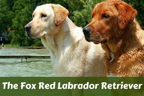 fox golden retriever fox labrador retriever labrador hq