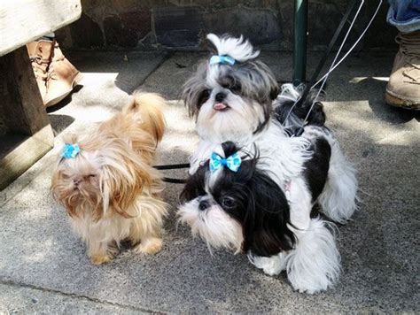 baby shih tzu names shih tzu puppies dogs puppys my and so