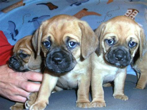 puggle puppies for adoption pug and beagle mixed dogs