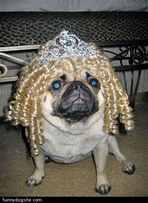 pug curl 17 best images about dogs pugs in wigs on bobs curls and the