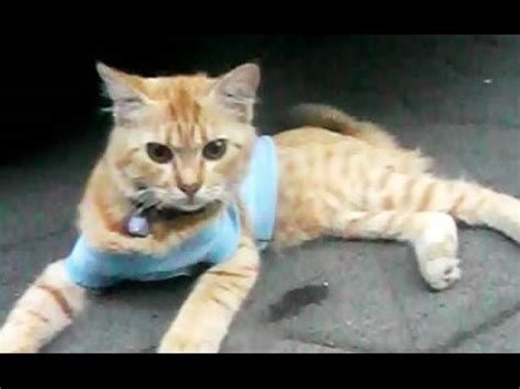 Tshirt Kucing Lucu by Cat Wearing Blue T Shirt Kucing Lucu Hd