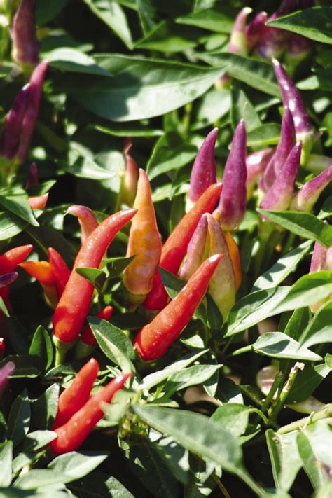 types of garden peppers ornamental pepper varieties hgtv
