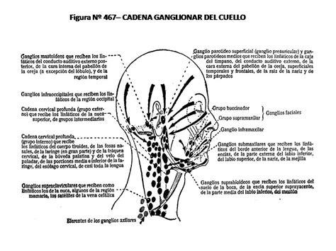 cadenas ganglionares cara atlas de anatom 205 a humana 467 cadena ganglionar del cuello