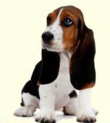 basset hound mix puppies for sale best 25 basset hound breeders ideas on