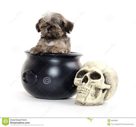 shih tzu skull shih tzu puppy and stock photo image 28646680