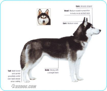 husky type dogs pictures of the different types of husky dogs breeds picture