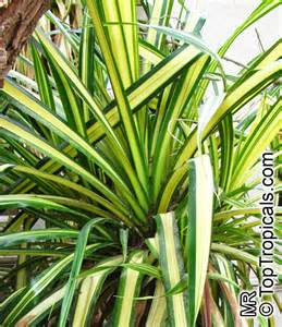 Zone Tropical Plants - pandanus sp pine palm toptropicals com