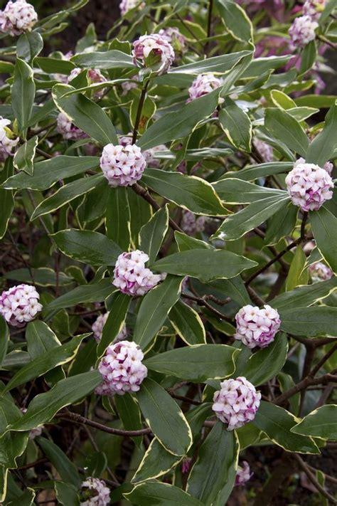evergreen winter flowering shrubs variegated winter monrovia variegated winter
