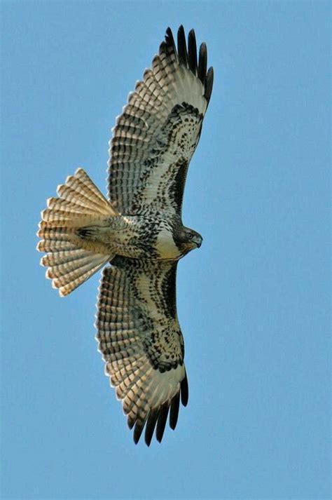 hawks that hunt in packs 239 best cetrer 237 a images on birds of prey