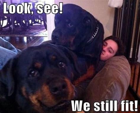 rottweiler meme 10 best rottweiler memes of all time