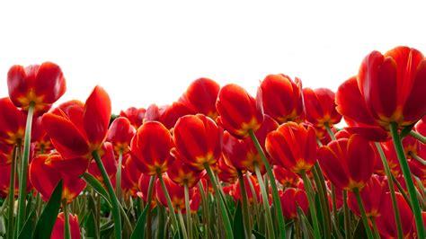 wallpaper tulips red flowers hd  flowers