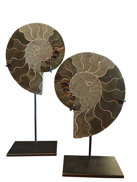 decorative objects for home balsamo antiques madagascar pair ammonites