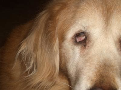 golden retriever ailments golden retriever eye problem