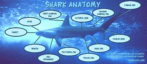 the shark gallery shark facts and information