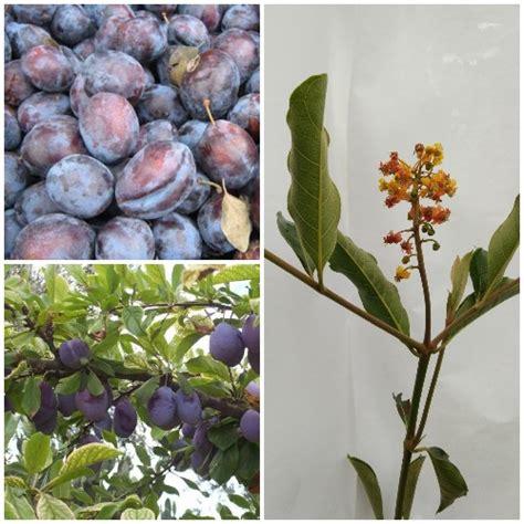 Cherry Kering 1kg tanaman italian plum plum italy jual tanaman hias