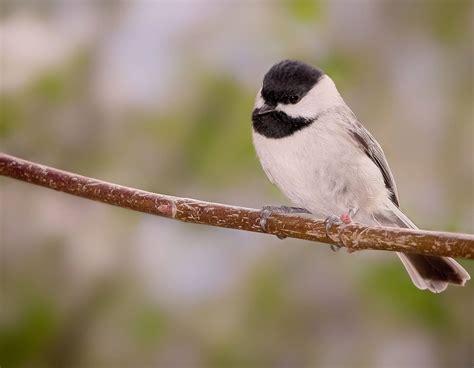 chickadee birmingham audubon
