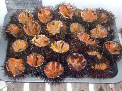 oursin cuisine oursin fiche oursin et recettes de oursin sur supertoinette