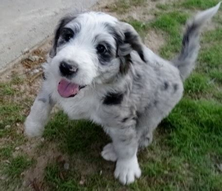 puppies for sale bronx ny aussie doodles puppies for sale bronx ny 254539
