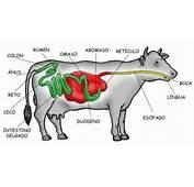 Sistema Digestivo De Una Vaca