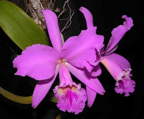 imagenes de flores naturales orquideas cattleya labiata wikipedia la enciclopedia libre