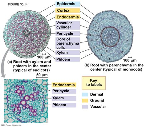 difference between monocot and dicot root cross section monocot vs dicot root slide quotes