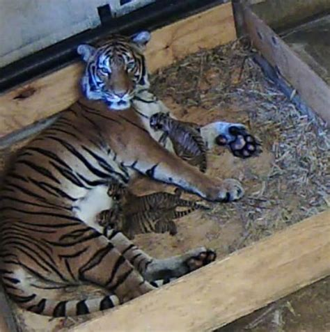 how many babies does a jaguar malayan tiger cubs bonding with at tulsa zoo zooborns