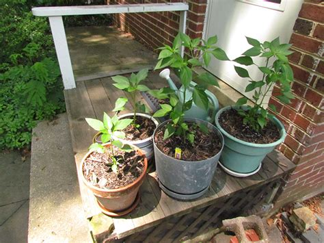 container gardening peppers crawls backward when alarmed growing cayenne peppers in