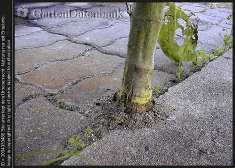 Unkraut Zwischen Steinen Entfernen 2849 by Sonnenblume Als Unkraut Zwischen Steinen
