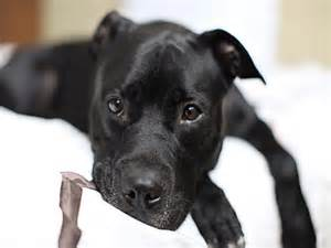 Black Pit Black Pit Bull Dogs Are They Really Popular American