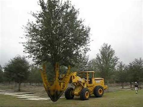 live tree sales newly dug live oak tree being moved to basket to harden