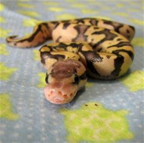 ball python heat l ball pythons are so pretty how this snake s looking