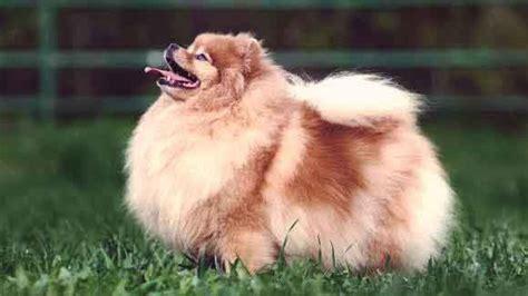 fluffy puppies breeds fluffy breeds petcarerx