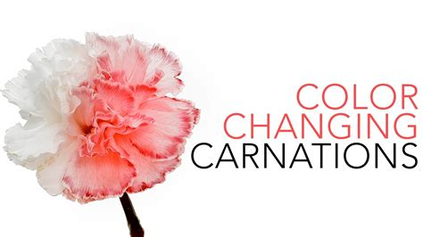 color changing carnations sick science 020