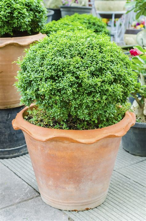 evergreen container plants learn  container grown