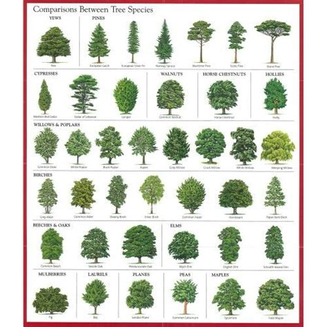 different types of trees pictures to pin on pinterest comparisons between tree species good education