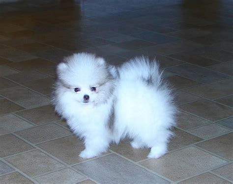 teacup pomeranian for sale in nj pomeranian teacup pomeranian puppies dogs sale breeders pomeranians breeds picture