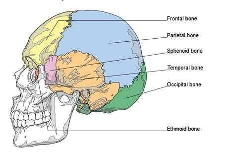 diagram of cranial bones the skull boundless anatomy and physiology