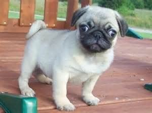pug for sale singapore the number one article on pugs for sale puppy singapore